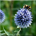 SK2169 : Bumblebee on globe thistle by Peter Barr
