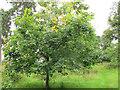 SJ9822 : Quercus Shumardii by Stephen Craven
