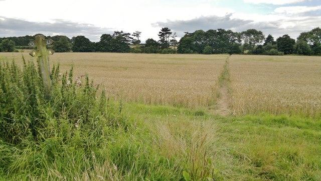 Footpath through the cornfield