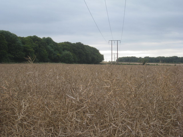 Oilseed rape and power lines