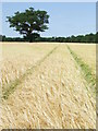 TM0037 : Tram Lines In The Barley by Keith Evans