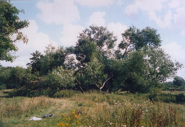Old willow, Marston Marshes