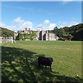 SS2324 : One of the black sheep at Hartland Abbey by David Smith