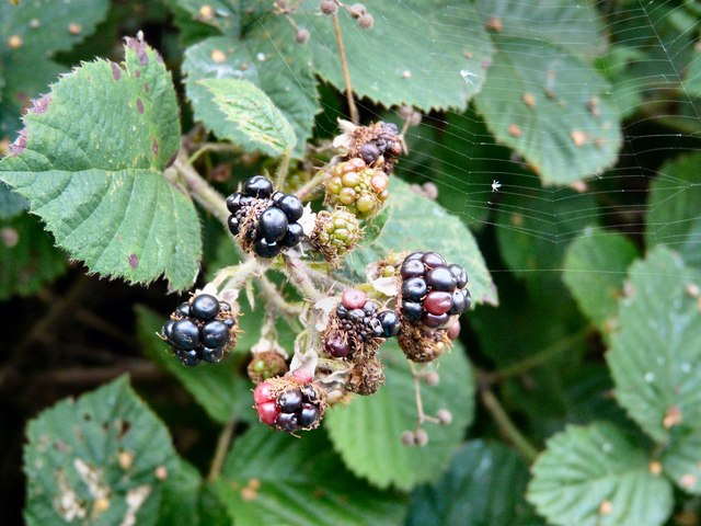 Blackberries and a spider's web at Knott Fold