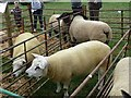 SJ1901 : Berriew Show - Texels and Suffolks by Penny Mayes