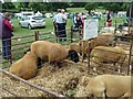 SJ1901 : Berriew Show - Suffolks and Berrichon Du Cher by Penny Mayes