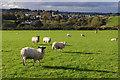NY7808 : Sheep grazing at Hartley by Ian Taylor
