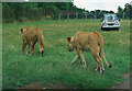 ST8143 : Lions, Longleat by Rossographer