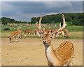 ST8143 : Fallow deer, Longleat by Rossographer
