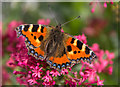 SO1252 : Small Tortoiseshell Butterfly, Cregrina, Powys by Christine Matthews