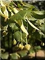 ST6175 : Lime fruit, Eastville Park by Derek Harper