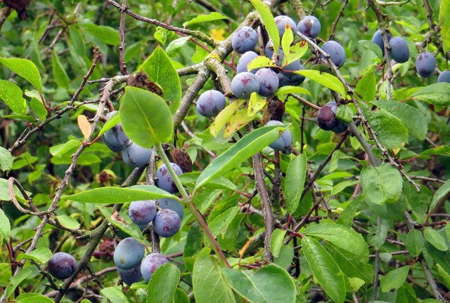 Sloes by the footpath