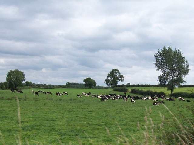 A dairy herd on grazing land east of the Belmont Road