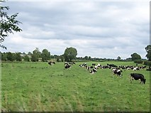 N0625 : Friesian herd east of the Belmont Road by Eric Jones