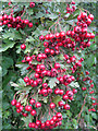 TA0610 : September Hawthorn Berries by David Wright