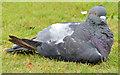J3675 : Feral pigeon, Victoria Park, Belfast (3) by Albert Bridge