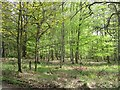 NN9220 : Beech wood, Long Plantation by Richard Webb