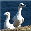 TA2073 : Two adult gannets, Bempton Cliffs by Robin Drayton