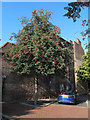 TQ7468 : Rowan tree in Rochester by Stephen Craven