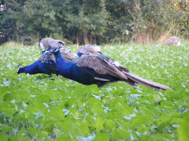 Peacocks grazing on the Church Land Trust field