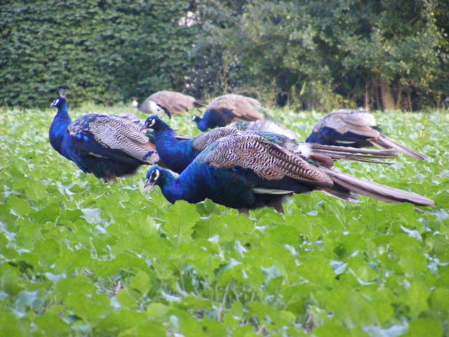 Peacocks grazing on the Church Land Trust field