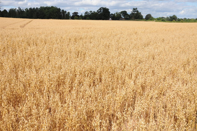 Oats field at Earl's Croome