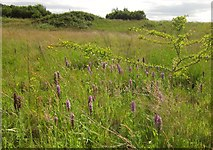 SX9066 : Orchids, former Barton tip by Derek Harper