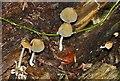 SP9208 : Coprinus micaceus by Rob Farrow