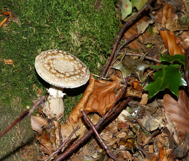 Amanita rubescens - The Blusher (probably)