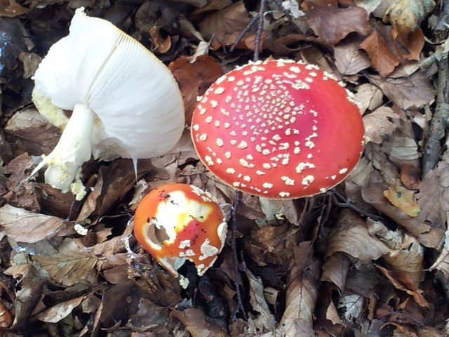 Fly Agaric (Amanita muscaria) group