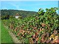 TQ1651 : Denbies Vineyard by Mark Percy
