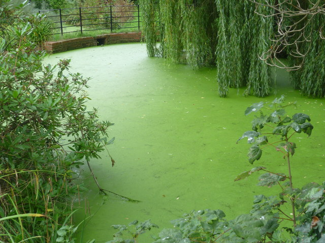 A rather overgrown pond in The Knoll, Hayes