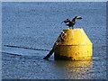 NZ8911 : Cormorant, drying off by Pauline E