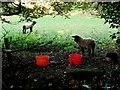 C3225 : Sheep grazing by Kenneth  Allen