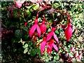 C3126 : Fuchsia plants, Inch Island by Kenneth  Allen