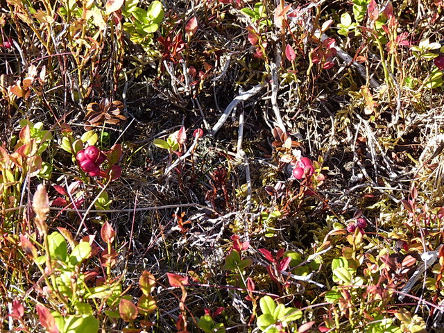 Red Cowberries fruiting on Meikle Elrick