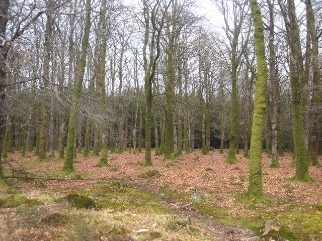 Beech trees in Halwill Moor Plantation
