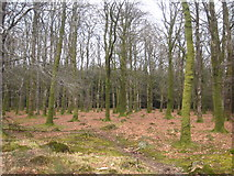 SS4301 : Beech trees in Halwill Moor Plantation by Rod Allday