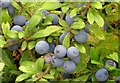 SP3900 : Sloes by the bridleway by Steve Daniels