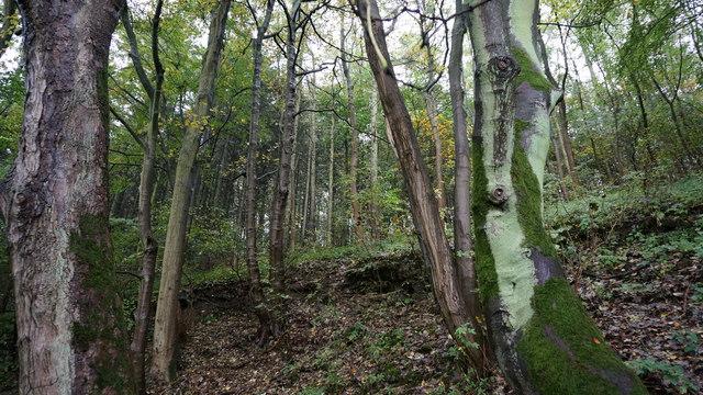 Trees in Cracknowl Wood