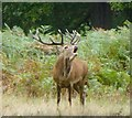 TQ2072 : Red deer stag roaring in Richmond Park by Russel Wills