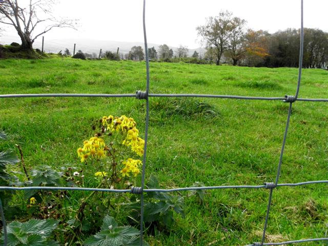 A yellow weed, Droit