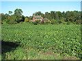 TG3315 : View across sugar beet crop, Woodbastwick by Evelyn Simak