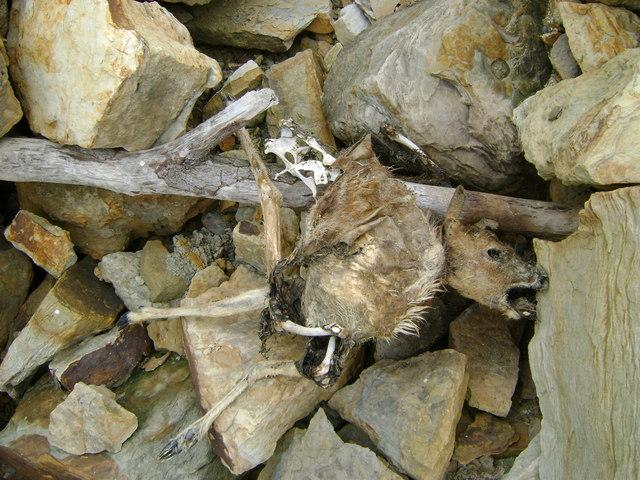 Dead Roe Deer at OV000000