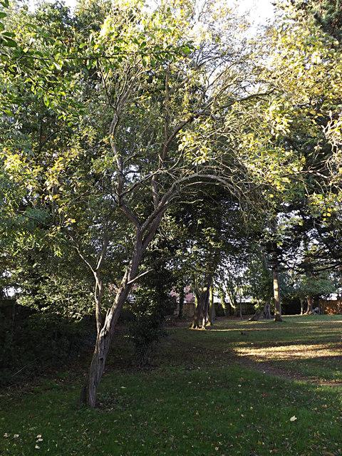 Damson Tree at Highfield