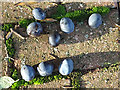 TM3876 : Windfall Damsons at Highfield by Adrian Cable