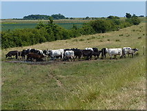 TF3839 : Herd of cows near The Haven by Mat Fascione