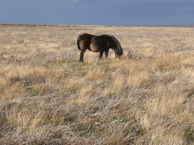 Foraging Exmoor Pony, on Porlock Common