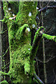 NO2637 : Moss-covered sycamore, Ledcrieff Wood by Mike Pennington