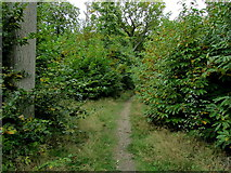 TR1957 : Footpath in Pine Wood by Chris Heaton